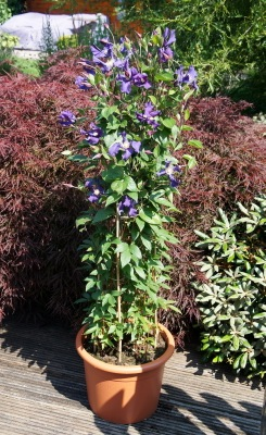 Clematis Blue Pirouette in pot