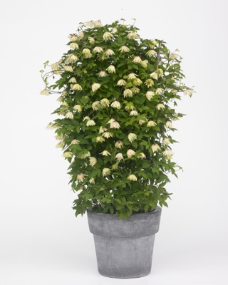 Clematis Amber in pot
