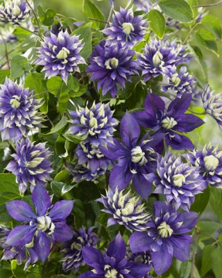 Clematis Taiga flower image