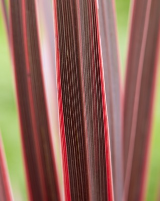 Cordyline Charlie Boy foliage close-up