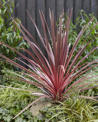 Cordyline Charlie Boy in garden
