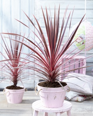 Cordyline Charlie Boy on patio