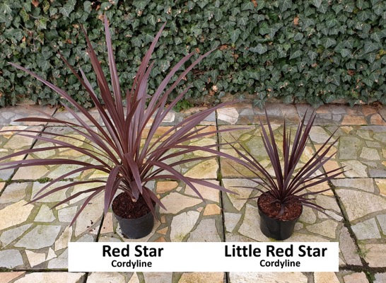 General image of Cordyline Little Red Star