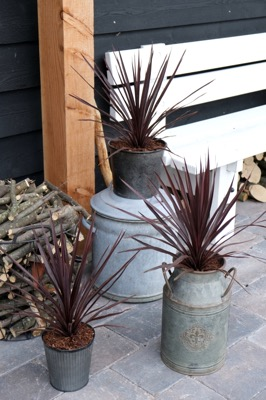 Cordyline Little Red Star on patio