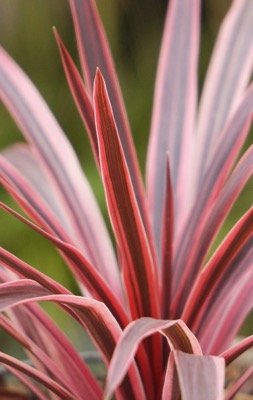 Cordyline Pink Star foliage