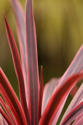 Cordyline Pink Star foliage close-up