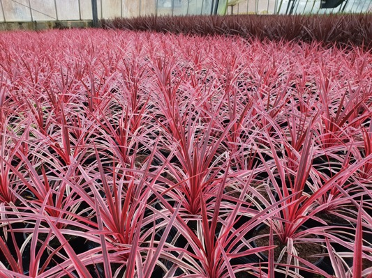 Cordyline Pink Star with nursery