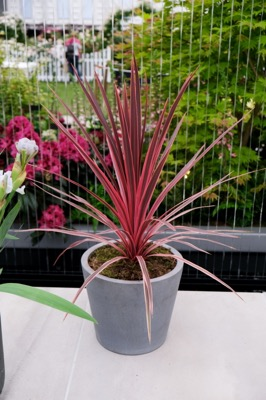 Cordyline Pink Star on patio