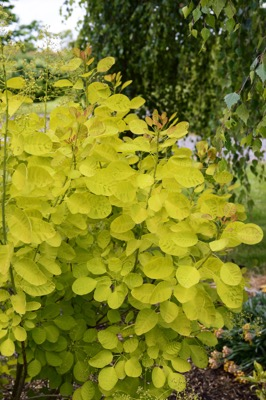Cotinus Golden Lady foliage