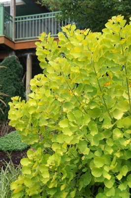 Cotinus Golden Spirit® foliage