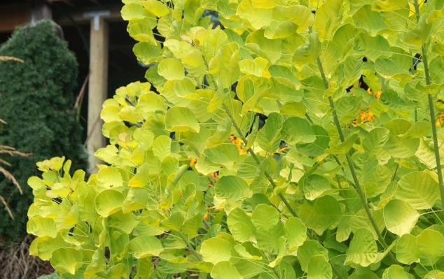 Cotinus Golden Spirit® foliage close-up