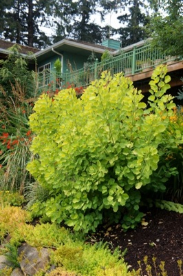 Cotinus Golden Spirit® in garden
