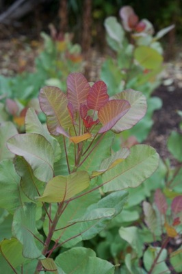 Cotinus Old Fashioned foliage close-up