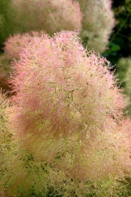 Cotinus Young Lady flower close-up
