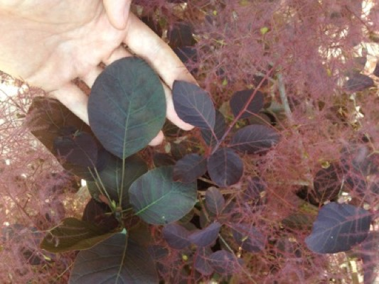 Cotinus Dusky Maiden foliage close-up