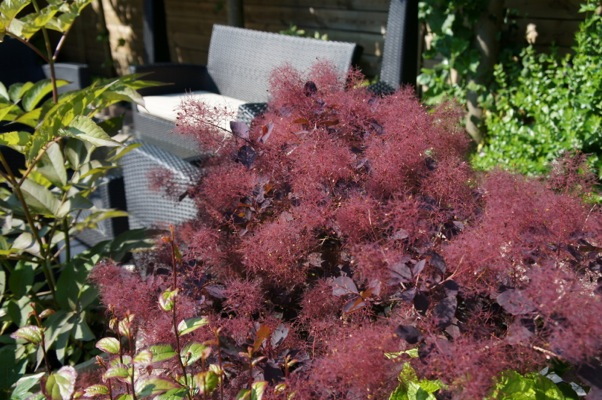 Cotinus Dusky Maiden in garden