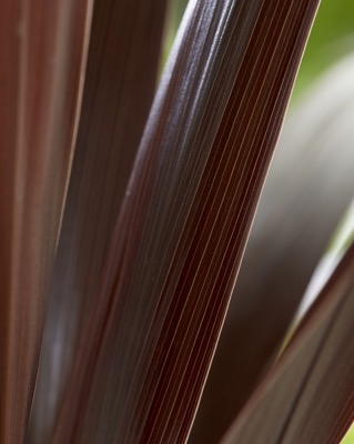 Cordyline Superstar foliage close-up
