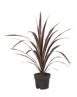 Cordyline Superstar in pot