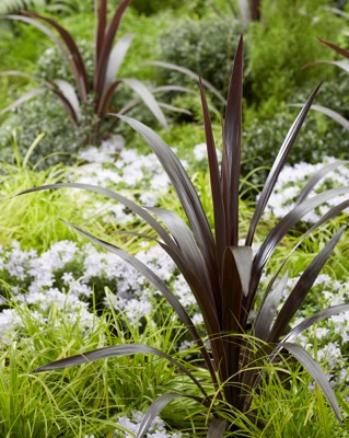 Cordyline Superstar in garden