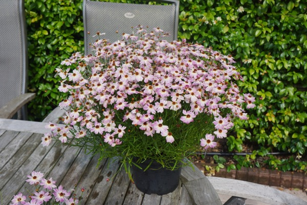 Coreopsis Bloomsation® Chameleon in pot