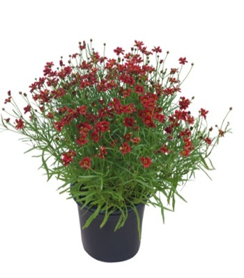 Coreopsis Twinklebells Red in pot