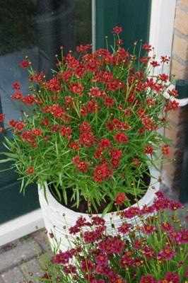 Coreopsis Twinklebells Red on patio