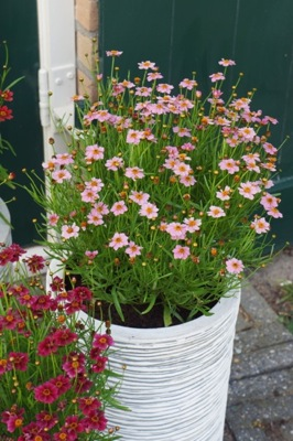 Coreopsis Twinklebells Pink on patio