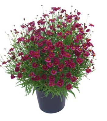 Coreopsis Twinklebells Purple in pot