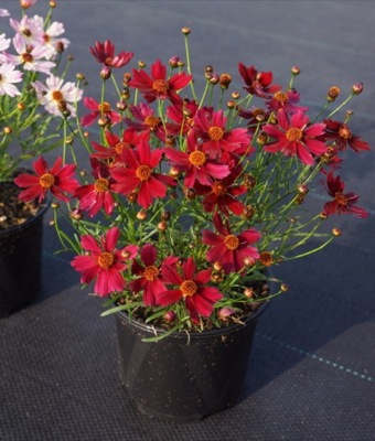 Coreopsis Bloomsation® Dragon in pot