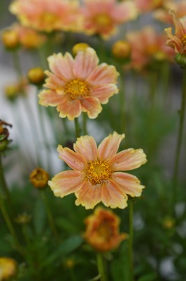 Coreopsis Gardenscape® Melon flower close-up