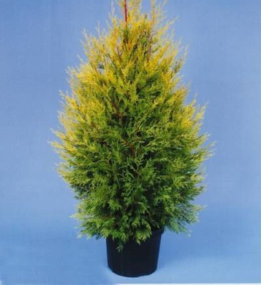 Cupressocyparis Excalibur Gold foliage