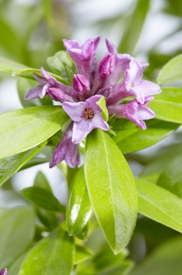 Daphne Sweet Amethyst flower close-up