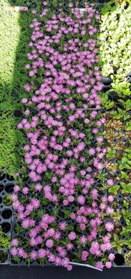 Delosperma Jewel of Desert Candystone with nursery
