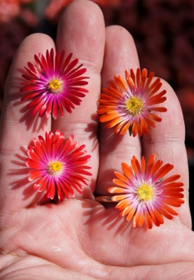 Delosperma Jewel of Desert Sunstone flower image