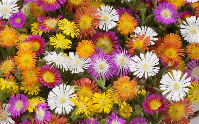 General image of Delosperma Wheels of Wonder® Golden