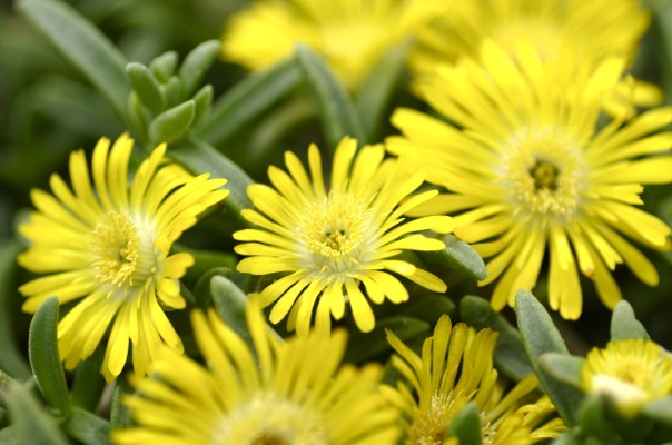 Delosperma Wheels of Wonder® Golden flower close-up