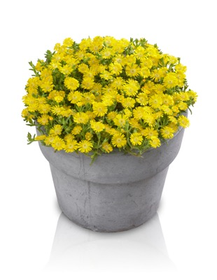 Delosperma Wheels of Wonder® Golden in pot