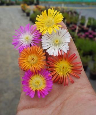 General image of Delosperma Wheels of Wonder® Fire