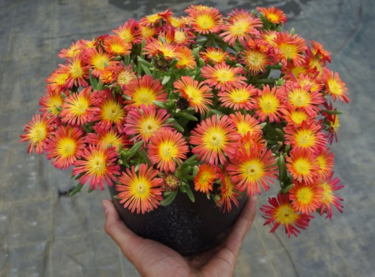 Delosperma Wheels of Wonder® Fire in pot