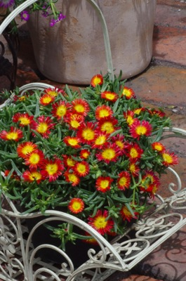 Delosperma Wheels of Wonder® Fire on patio
