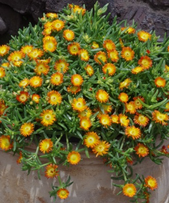 Delosperma Wheels of Wonder® Orange flower close-up