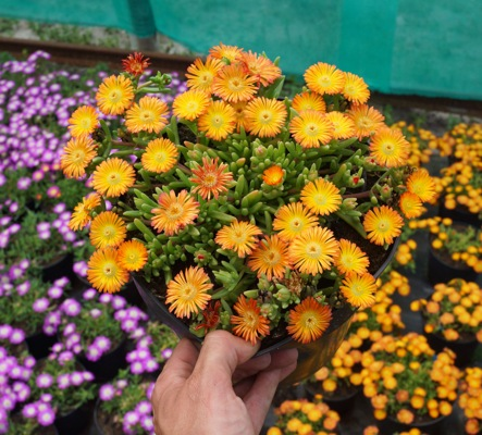 Delosperma Wheels of Wonder® Orange in pot