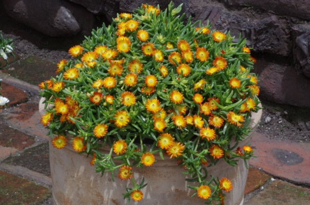 Delosperma Wheels of Wonder® Orange on patio
