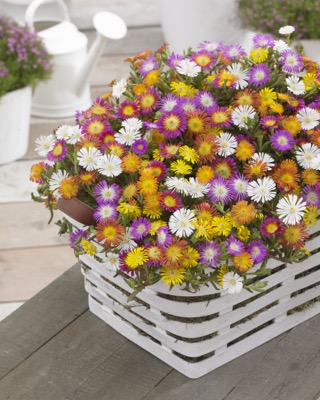 General image of Delosperma Wheels of Wonder® Violet