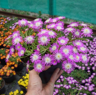 Delosperma Wheels of Wonder® Violet in pot