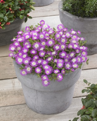 Delosperma Wheels of Wonder® Violet on patio