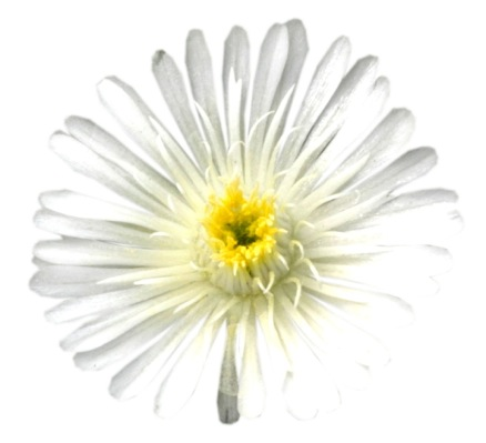 Delosperma Wheels of Wonder® White flower close-up
