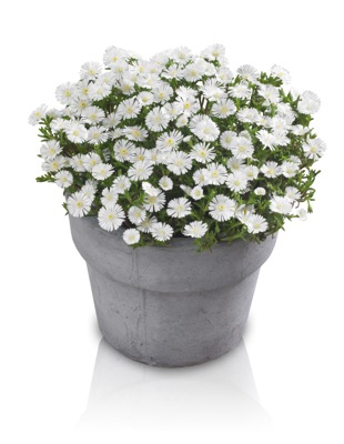 Delosperma Wheels of Wonder® White in pot