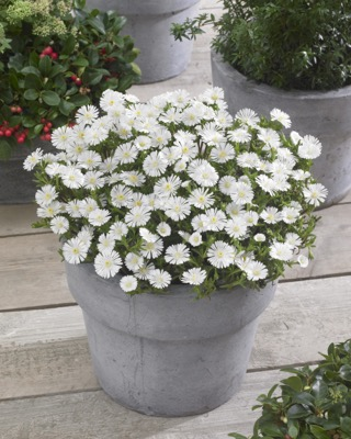 Delosperma Wheels of Wonder® White on patio