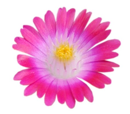 Delosperma Jewel of Desert Amethyst flower close-up